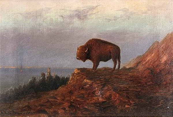 Plains Buffalo