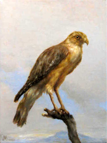 Florida Red Shouldered Hawk