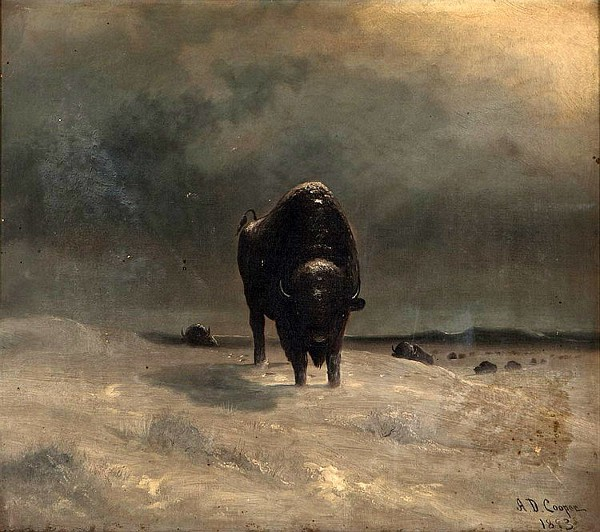 Buffalo Leading A Herd