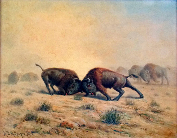 Buffalos Fighting (courtesy of Mr. Edward Peterson)